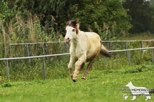 Shetlandpony Schecke in Action