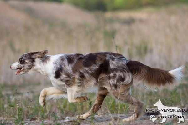 Australian Shepherd in Action