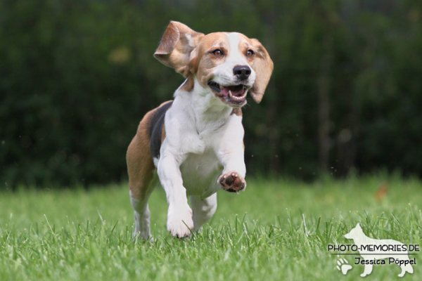 Beagle in Action