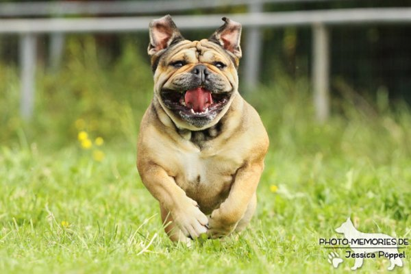 Englische Bulldogge in Action