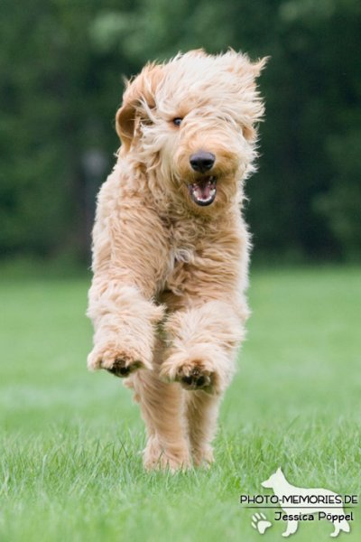 Golden Doodle in Action