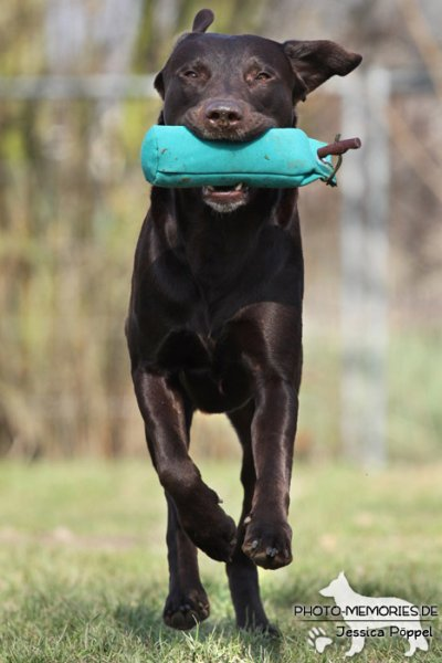 Labrador Retriever mit Dummy