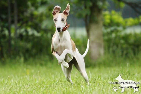 Whippet in Action